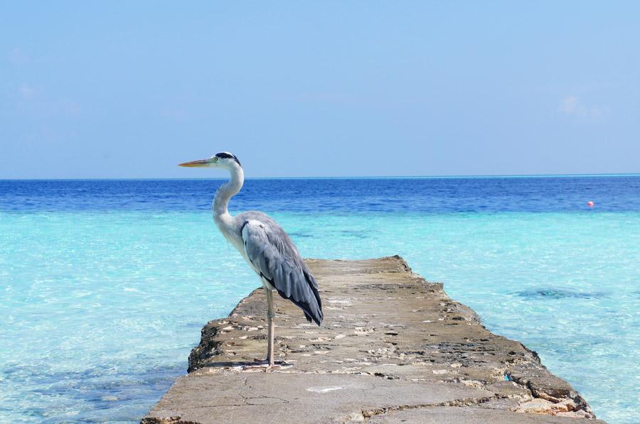 フリー写真 モルディブの海とアオサギ