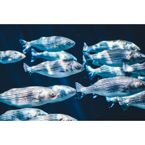 フリー写真, 動物, 魚類, 魚(サカナ), ストライプドバス, 群れ