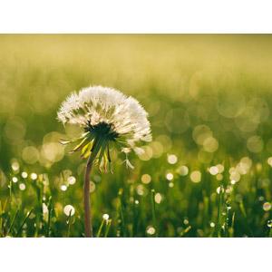フリー写真, 植物, 蒲公英(タンポポ), 綿毛, 水滴(雫), 玉ボケ