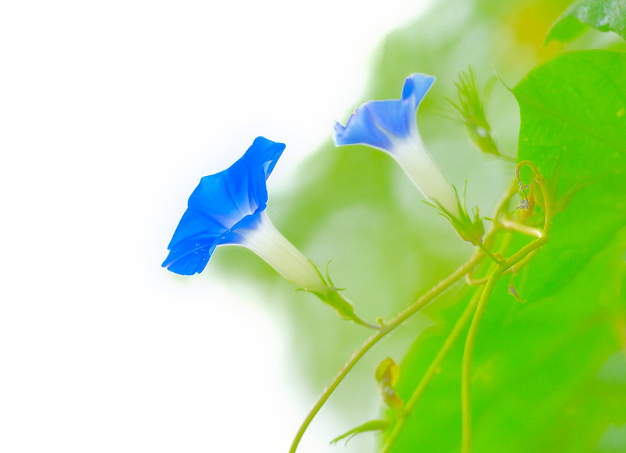 フリー写真 青色のあさがおの花