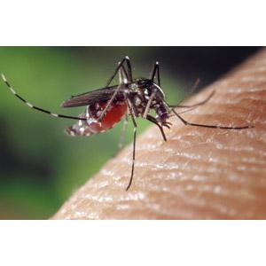 フリー写真, 動物, 昆虫, 蚊