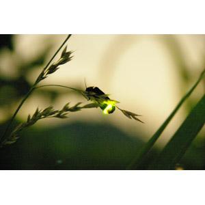 フリー写真, 動物, 昆虫, 蛍(ホタル), 夏, 光(ライト)