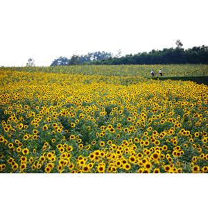 フリー写真, 風景, 植物, 花, 向日葵(ヒマワリ), 花畑, 人と風景, 日本の風景, 北海道