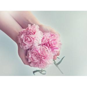 フリー写真, 人体, 手, 人と花, 植物, 花, カーネーション, ピンク色の花