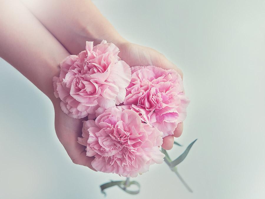 フリー写真 手の中のカーネーションの花