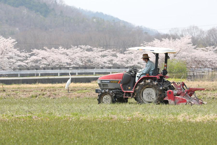 フリー写真 桜並木と畑を耕すトラクター