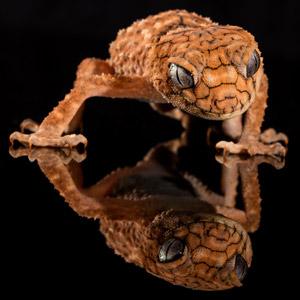 フリー写真, 動物, 爬虫類, トカゲ, ヤモリ, オニタマオヤモリ, 黒背景
