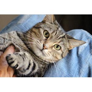 フリー写真, 動物, 哺乳類, 猫(ネコ), キジトラ猫, 人と動物