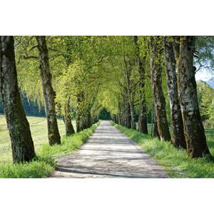 フリー写真, 風景, 並木道, 小道, 田舎, 樹木