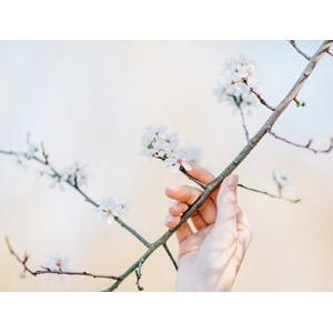 フリー写真, 人体, 手, 植物, 花, 桜(サクラ), 枝, 春