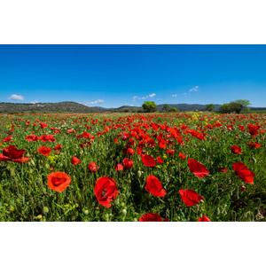 フリー写真, 風景, 自然, 草原, 植物, 花, ヒナゲシ(ポピー), 赤色の花, 花畑, 青空