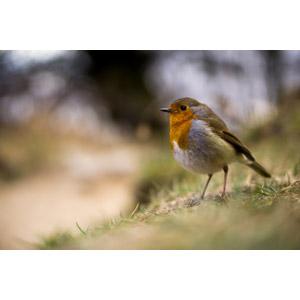 フリー写真, 動物, 鳥類, 鳥(トリ), ヨーロッパコマドリ