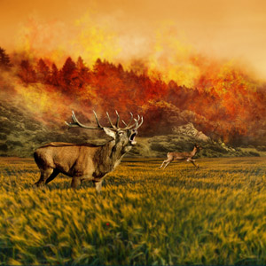 フリー写真, フォトレタッチ, 災害, 自然災害, 火(炎), 火事(火災), 動物, 哺乳類, 鹿(シカ), アカシカ, ノロジカ, 叫ぶ(動物)