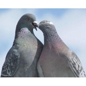 フリー写真, 動物, 鳥類, 鳥(トリ), 鳩(ハト), カップル(動物), キス(動物)