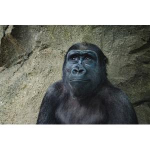 フリー写真, 動物, 哺乳類, 猿(サル), ゴリラ, 見上げる(動物)