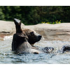 フリー写真, 動物, 哺乳類, 熊(クマ), 水浴び(動物)