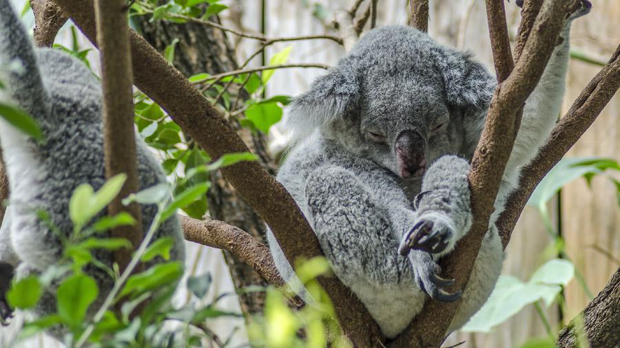 フリー写真 木の枝の上で眠っているコアラ