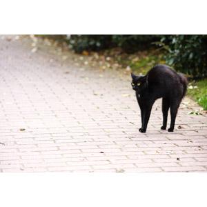フリー写真, 動物, 哺乳類, 猫(ネコ), 黒猫, 怒る(動物)
