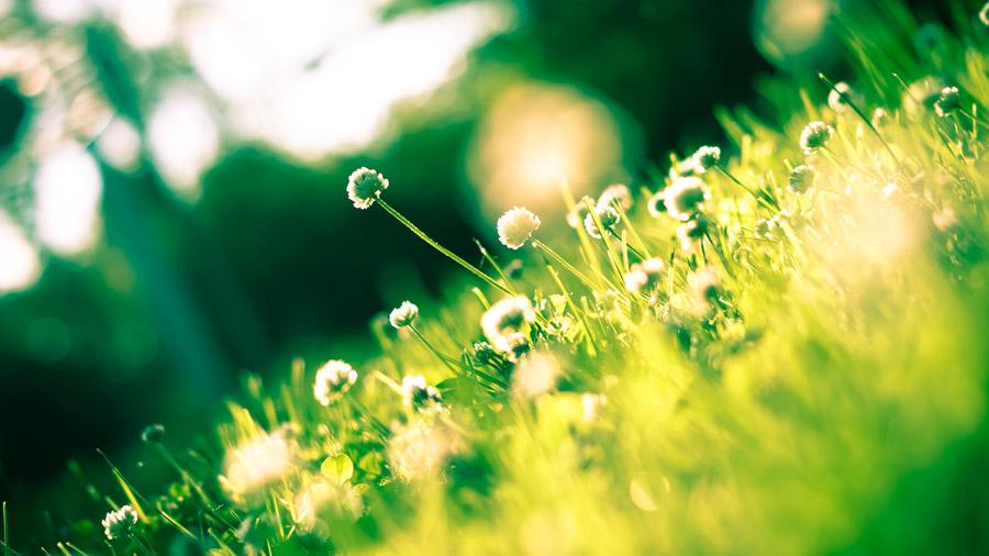 フリー写真 草とシロツメクサの花