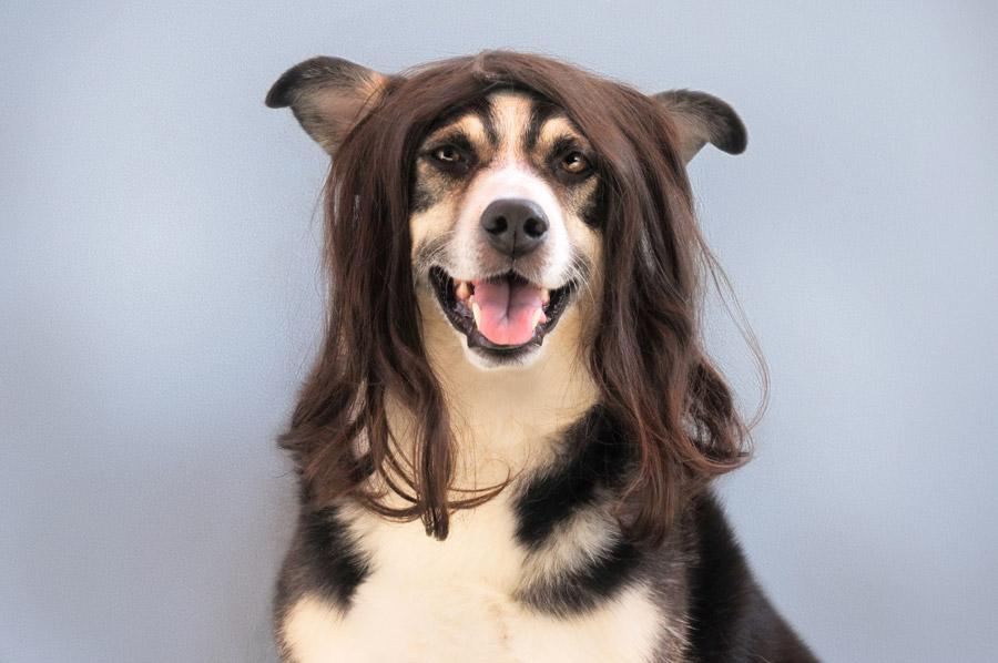 フリー写真 かつらをつけた犬