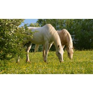 フリー写真, 動物, 哺乳類, 馬(ウマ), 食べる(動物), 白馬, 草むら