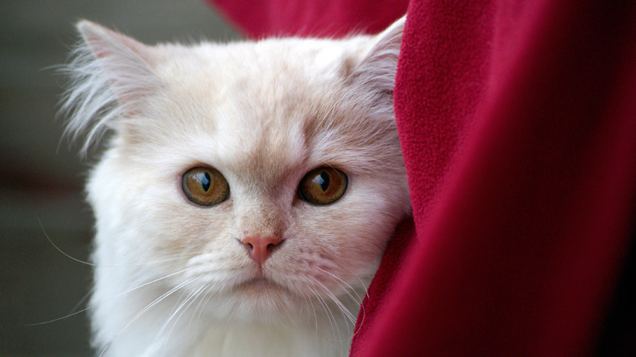フリー写真 大きな目をした猫の顔のアップ