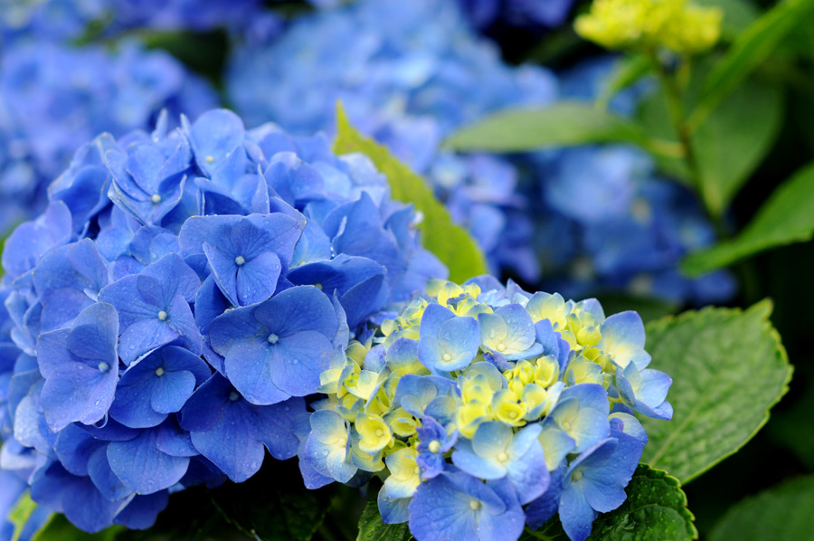 フリー写真 青色のあじさいの花