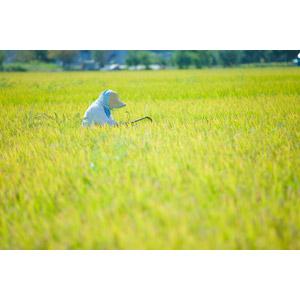 フリー写真, 人物, 老人, シニア女性, 祖母(おばあさん), 農家(農民), 農業, 水田(田んぼ), 稲(イネ), 穀物, 作物