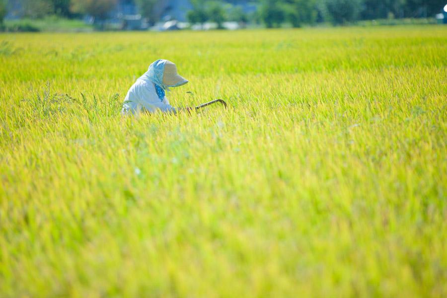 フリー写真 田んぼで草刈りをしている農家のおばあさん