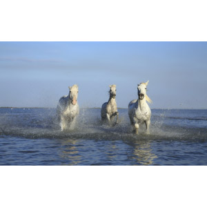 フリー写真, 動物, 哺乳類, 白馬, 水しぶき, 走る(動物)