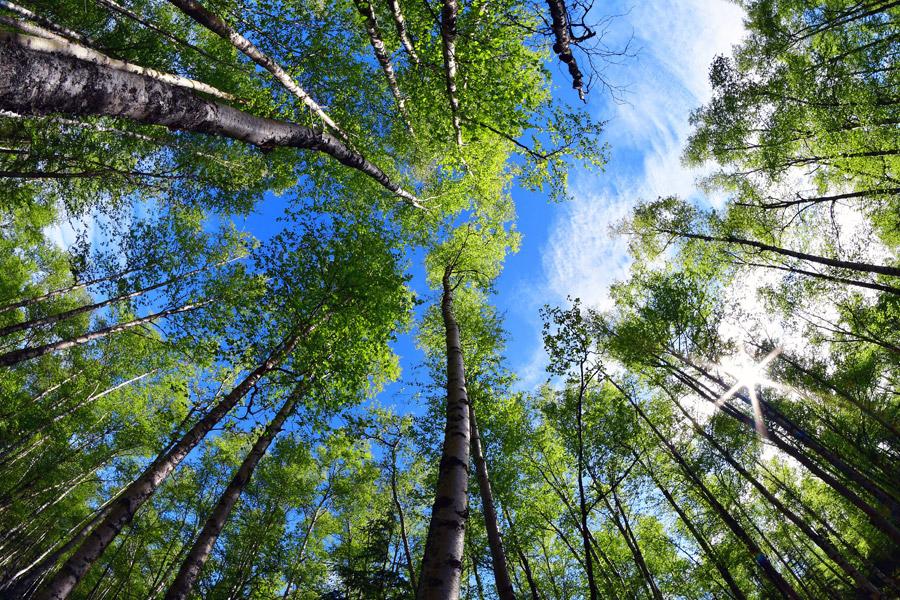 フリー写真 下から見上げる森の木々と青空の風景