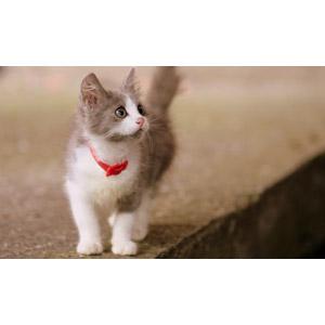 フリー写真, 動物, 哺乳類, 猫(ネコ), 子猫, 灰白猫, 子供(動物)
