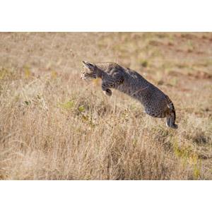 フリー写真, 動物, 哺乳類, ボブキャット, ジャンプ(動物)