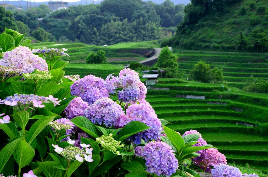 フリー写真 下赤阪の棚田と紫陽花の風景