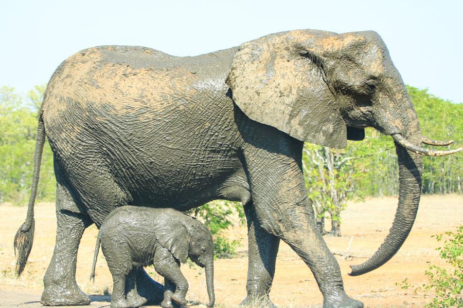 フリー写真 泥パックして歩く親子のゾウ