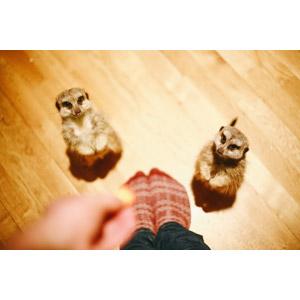 フリー写真, 動物, 哺乳類, ミーアキャット, 立つ(動物), 人と動物