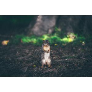 フリー写真, 動物, 哺乳類, 栗鼠(リス), 立つ(動物)