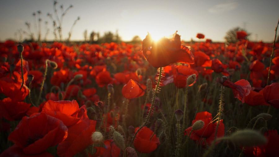 フリー写真 夕日とヒナゲシ畑