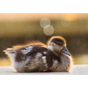 フリー写真, 動物, 鳥類, 鴨(カモ), 雛(ヒナ), 子供(動物)