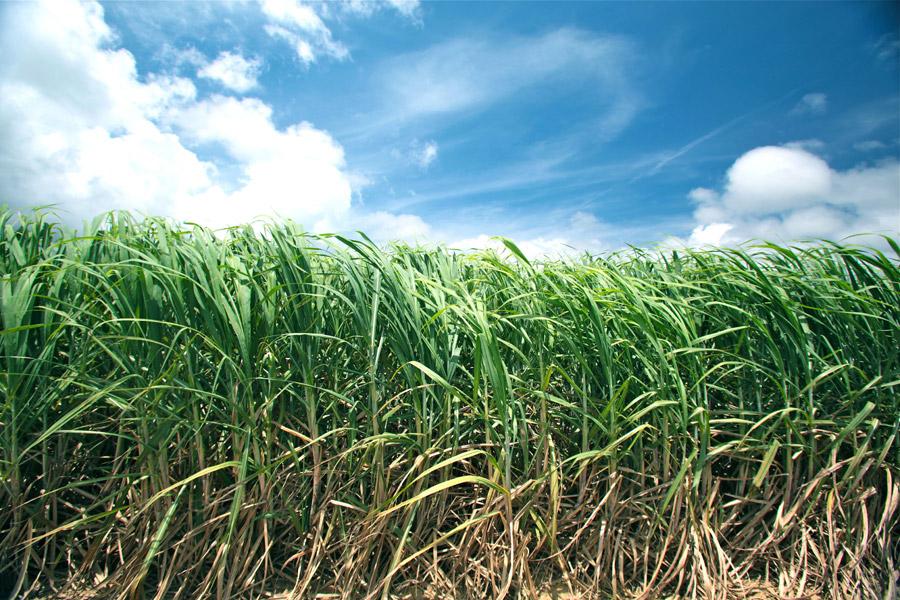 フリー写真 青空とさとうきび畑の風景