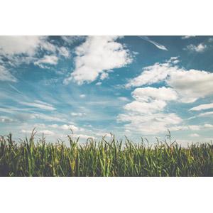 フリー写真, 風景, 畑, 作物, 青空, 雲