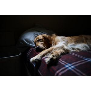 フリー写真, 動物, 哺乳類, 犬(イヌ), ゴールデン・レトリバー, 寝る(動物)