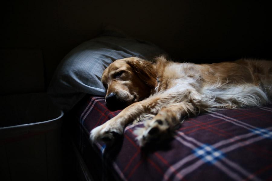 フリー写真 ベッドの上で寝ているゴールデンレトリバー