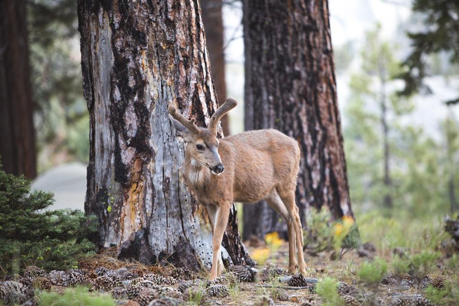 フリー写真 松ぼっくりと鹿