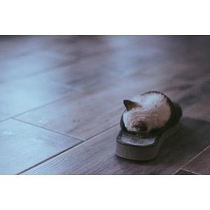 フリー写真, 動物, 哺乳類, 猫(ネコ), 子猫, 寝る(動物), スリッパ, フローリング, 子供(動物)