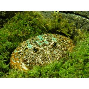 フリー写真, 動物, 両生類, 蛙(カエル), 緑色(グリーン)