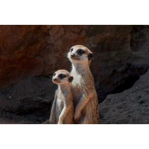 フリー写真, 動物, 哺乳類, ミーアキャット, 親子(動物), 立つ(動物)