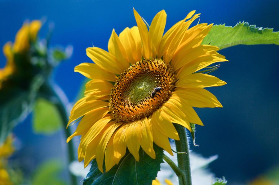 フリー写真 蜂が止まっているひまわりの花