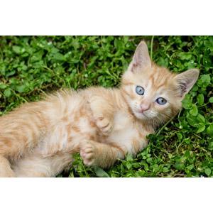 フリー写真, 動物, 哺乳類, 猫(ネコ), 子猫, 茶トラ猫, 子供(動物)