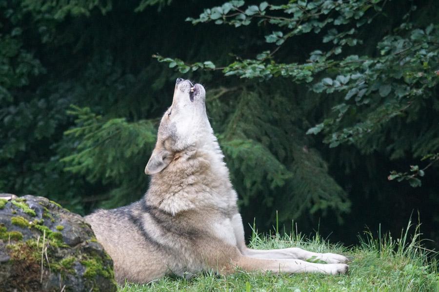 フリー写真 遠吠えするヨーロッパオオカミ